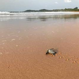 Baby turtle at Cape Three Points, Ghana