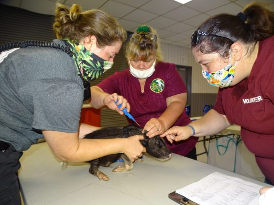 <p><p>Melia Richards and Billie Garner hold this little piggie for the microchip insertion, while animal services volunteer Brittany Schupp gives it a little love.</p></p><p></p>