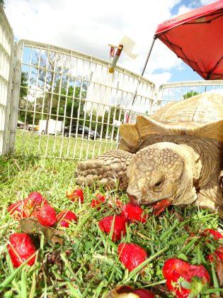 <p><p>A tortoise enjoying some raspberry refreshment for Easter in Lake Helen</p></p><p></p>