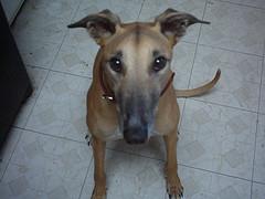 Lucky greyhound