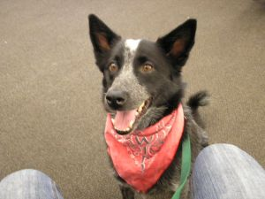 New Hope cattle dog needs home