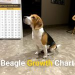 Beagle Growth Chart From Puppy To Adulthood Beagle Care