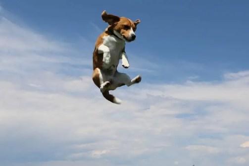 Beagle Jumping