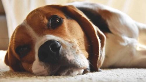 Beagle Motion Sickness