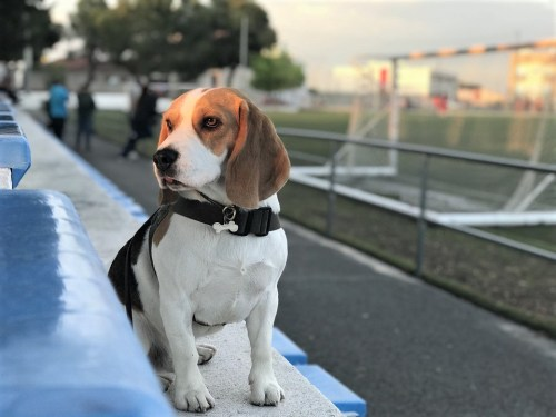 Beagle Obedience Training