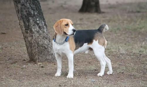 Beagle Dog Park