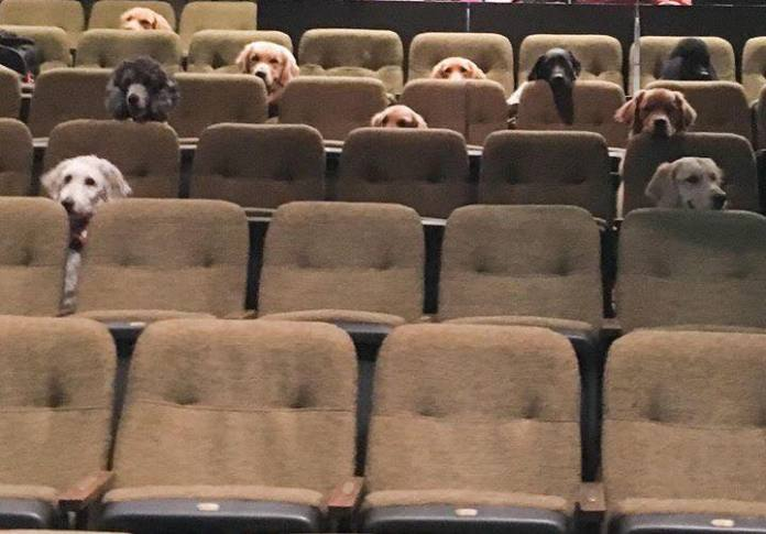 Service Dogs Attending A Live Musical As Part Of Their Training, And Their Photo Goes Viral