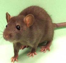 rat-control-san-diego