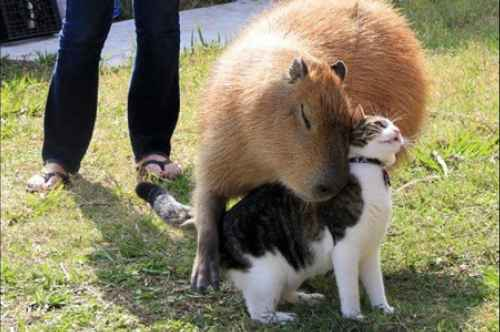 Capybara and cat