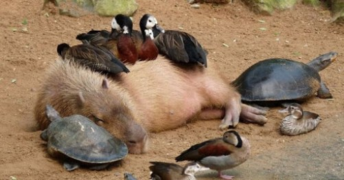 Capybara and animals