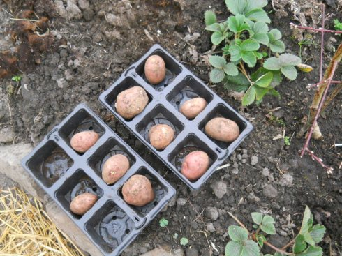 Chitting potatoes at Bealtaine Cottage