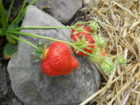 Strawberries at Bealtaine Cottage
