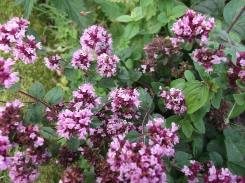 Oregano before harvesting at Bealtaine Cottage Permaculture Gardens