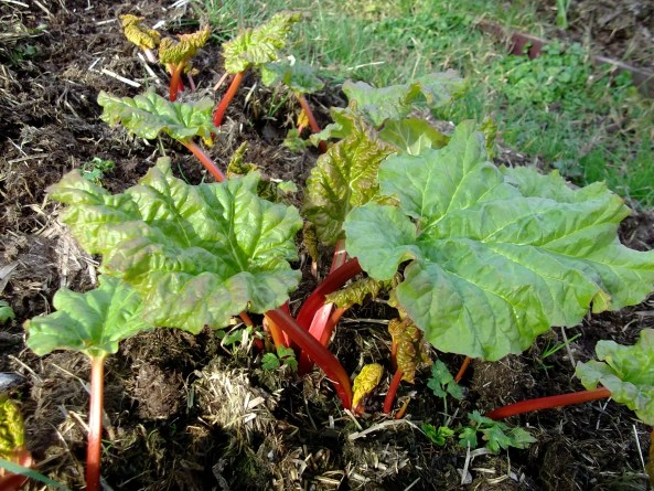 Rhubarb in a permaculture garden