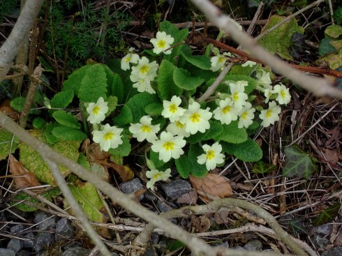 Primroses at Bealtaine Cottage