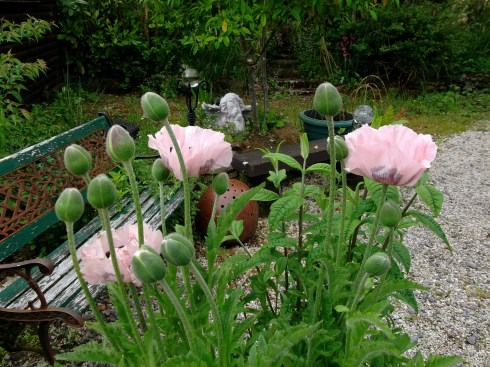 poppies in bloom at bealtaine Cottage this morning