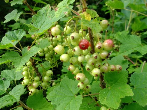 redcurrants ripening at Bealtaine Cottage