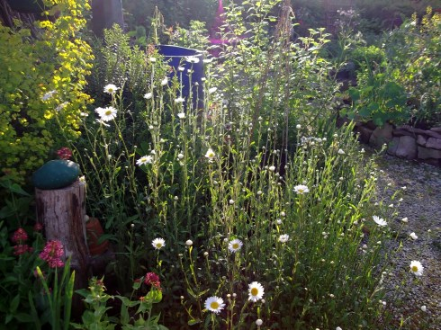 Ox-Eye Daisies in the permaculture gardens