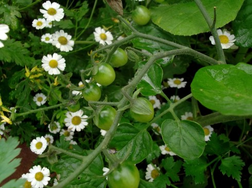 Feverfew and tomatoes