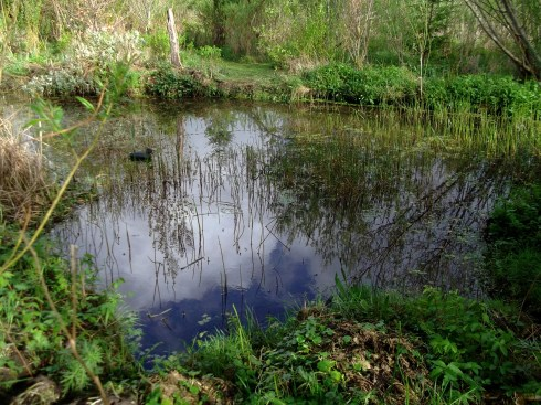 The lower pond at Bealtaine Cottage, teeming with Newts, Frogs...