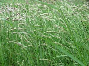 grasses in wind