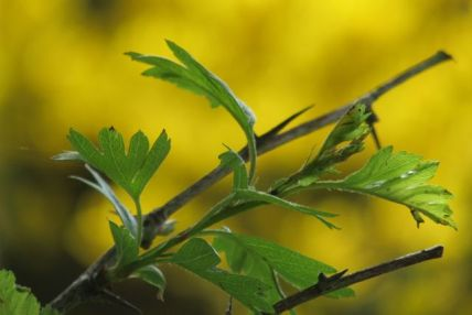new leaves against gorse