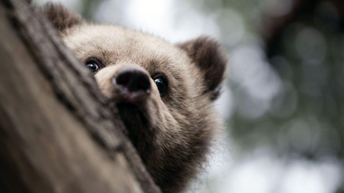 bearagain-gallery-bear-cub-tree