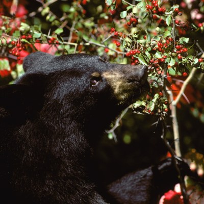 bear_eating_hawthorn.jpg