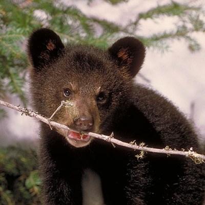 cub_chewing_twig.jpg