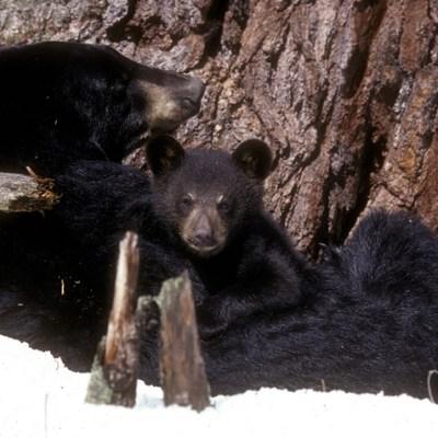 mom_and_cub_at_white_pine.jpg