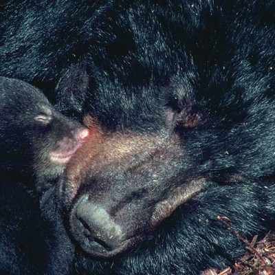 <h2>Mother in Den with Cub</h2><p>All three species of North American bears give birth during the winter.  The mothers' metabolic rates are slowed by hibernation, but they wake up and care for the cubs like other mothers do.</p>