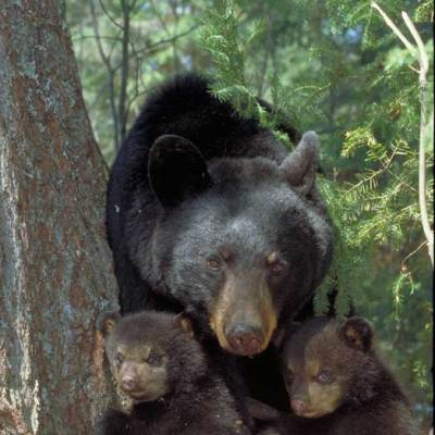<h2>Mom and 11-week-old cubs</h2><p>By July, these cubs replaced their fuzzy brown fur with coarser black fur, and their blue eyes turned brown.  By fall, their black fur was nearly four inches long, and a dense layer of underfur had grown in.  Thick fur in fall and spring makes all bears look fat.</p>