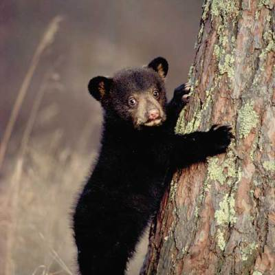 <h2>Black bear cub Age: 4 months  Weight: About 10 pounds</h2><p>Cub growth and survival depends upon food.  By fall, cubs can weigh as little as 15 pounds or more that 160 pounds.  This flexibility in growth rate, depending upon food, helps black bears adapt to habitat conditions from the arctic tundra of Labrador to the mountains and deserts of northern Mexico.</p>