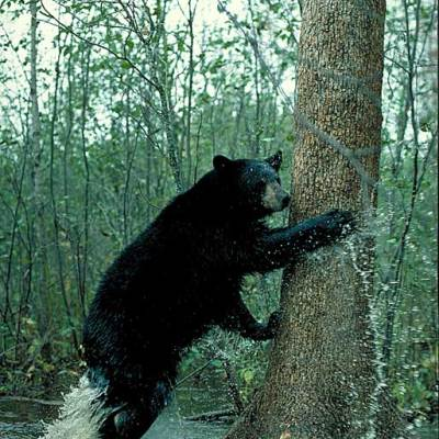 <h2>Fleeing</h2><p>Black bears survive by being ready to flee, often to a tree.  During the Ice Age, they lived among powerful predators like saber-toothed cats, dire wolves, American lions, and giant short-faced bears, none of which could climb trees.  Black bears developed the timid personality of a prey animal, which serves them well today among grizzly bears, wolves, and people.</p>