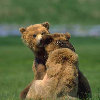 <h2>A bear hug</h2><p>Where food is abundant, bears buddy up to wrestle and play, sometimes for days. Mating pairs also play. Mating season for black and grizzly bears is late spring to early summer. Polar bears mate in late March to late May.</p>