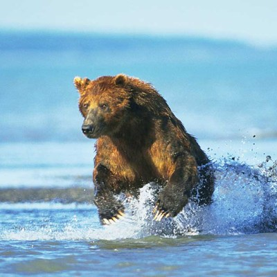 <h2>Beginning a chase</h2><p>A half-ton coastal grizzly bear leaps from the water at the mouth of a stream to chase a salmon that swirled in the shallows. When hunting salmon, bears look for swirls, repeatedly smell the water, and run toward splashing sounds.</p>