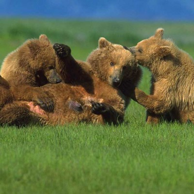 <h2>Hurry, Mom, I'm hungry</h2><p>Anxious to nurse, a 2½-year-old grizzly cub pulls its mother down by the ear.</p>
