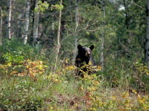 bear_in_aspen_forest.jpg