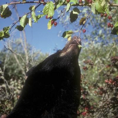 bear_eating_crabapple.jpg