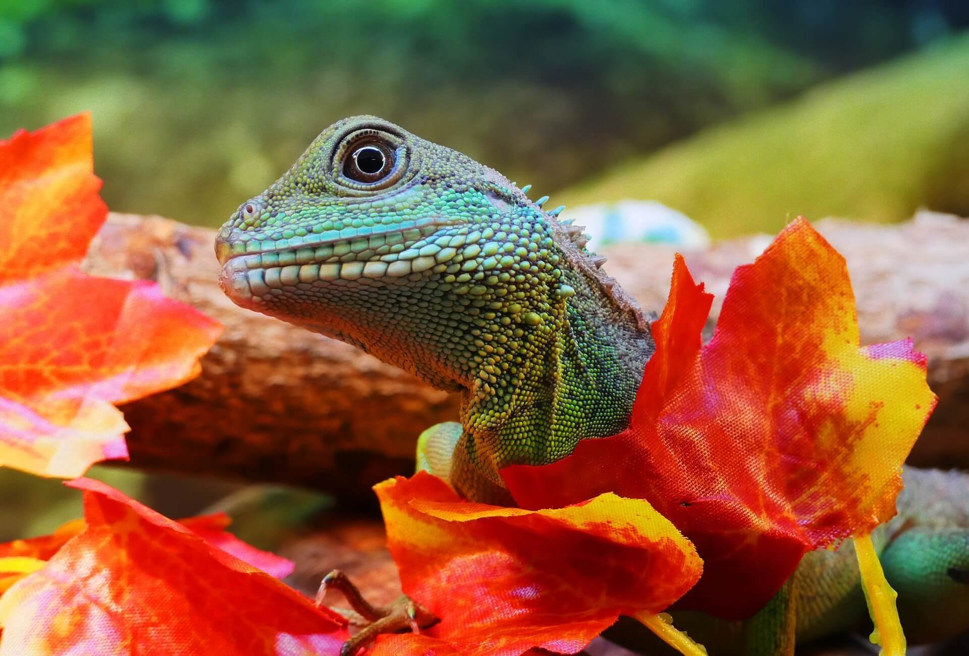 Chinese Water Dragon Diet