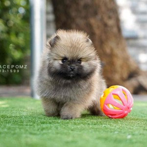White Male — Teacup Pomeranian Puppies For Sale