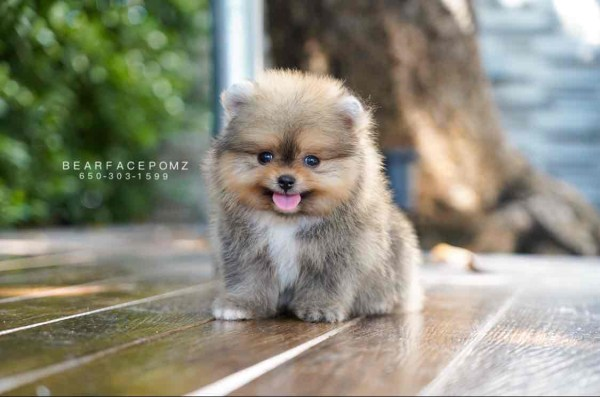 grey-pomeranian-puppy-for-sale-teacup-puppies