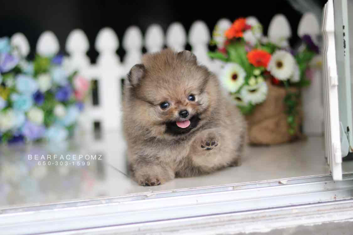 Grey Sable Female (Reserved by Mai) — Teacup Pomeranian Puppies For Sale
