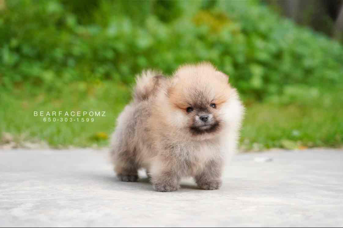 Orange Male (Reserved by Katherine) — Teacup Pomeranian Puppies For Sale