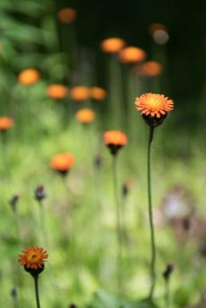 Wild flowers, BC