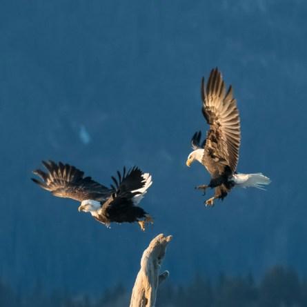 Bald Eagles, AK
