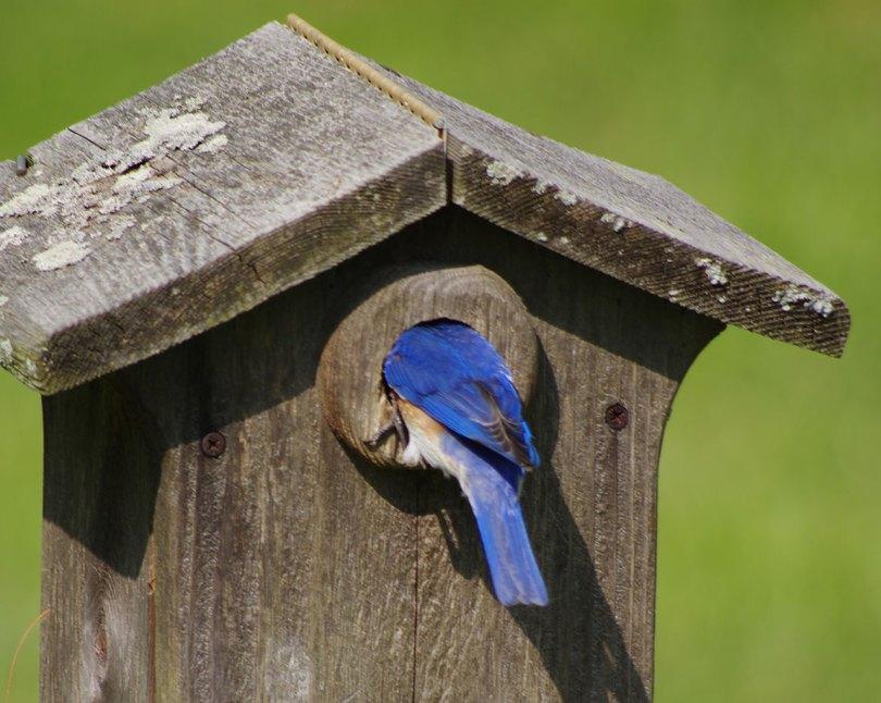 Eastern Bluebird with head inside nest box.