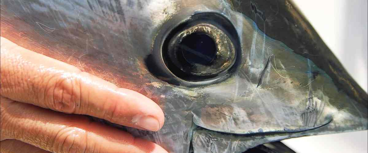 film BlueFin Tuna on the Fly