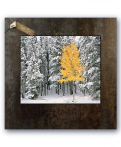 20 x 20 Picture on Slate - Lone Aspen, Rocky Mountain National Park, Colorado