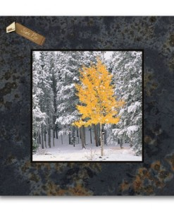 Picture on Slate - Lone Aspen, Rocky Mountain National Park, Colorado